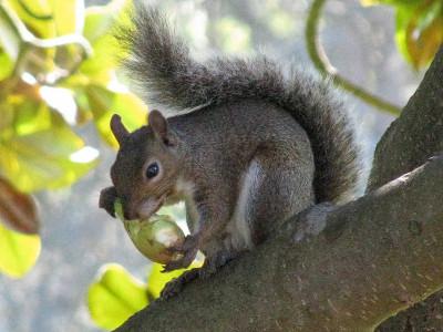 The Bruin Squirrel