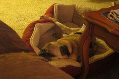 Oscar the Pug Sleeping