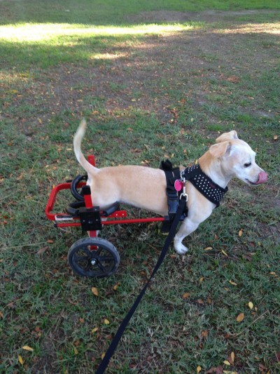 Lucy in her K9 Cart.